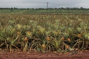 From the pineapple fields