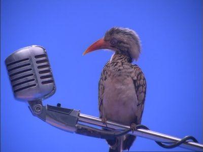 485939393-hornbill-microfone-cleansing-animal-communication-technology.jpg