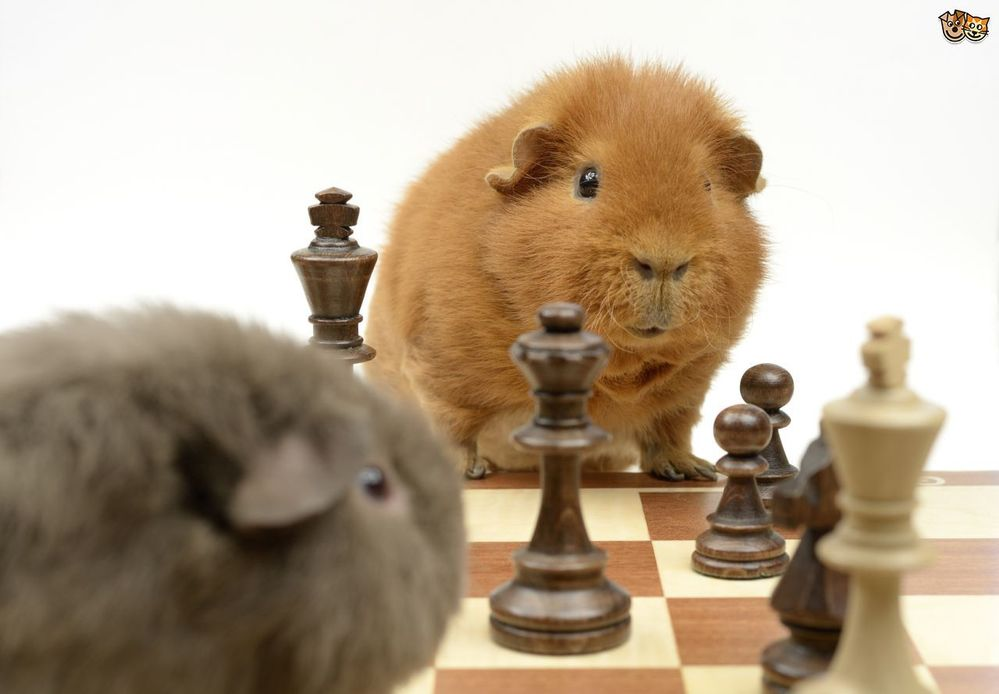 pets4homes.co.uk/pet-advice/great-ways-to-keep-your-guinea-pig-entertained.html