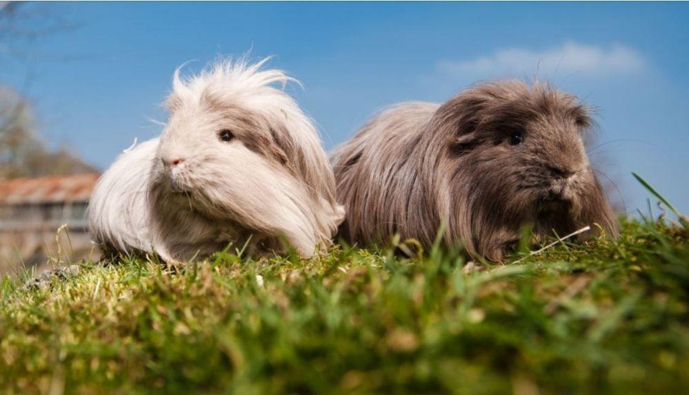 bluecross.org.uk/pet-advice/how-introduce-guinea-pigs